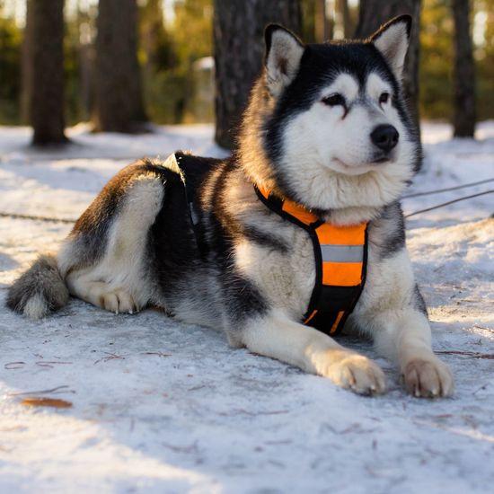 Calm doggo Alaskan Malamute Pets Snow Cold Temperature Winter Dog Sitting Pet Clothing Sled Dog Siberian Husky Pet Equipment Pet Leash Purebred Dog Pet Collar Leash