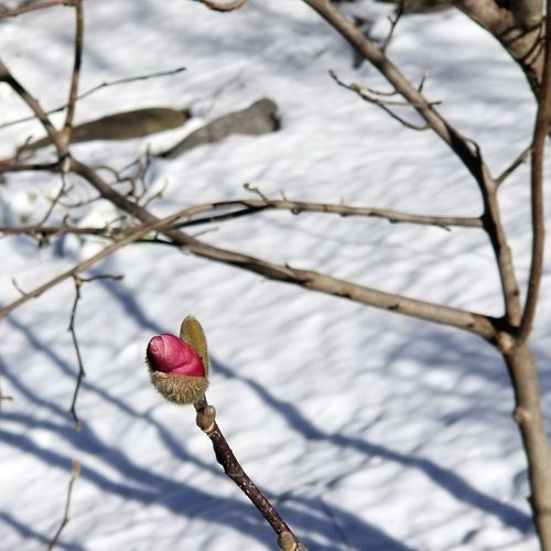 Winter won't take a hint Tree Budding With Pink Flowers Tree Bud Cincinnati Tree Branch Snow Winter Fruit Flower Cold Temperature Twig Close-up Sky