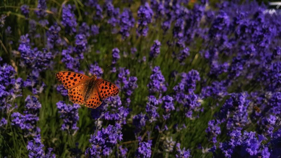 Butterfly pollinating on purple flowers
