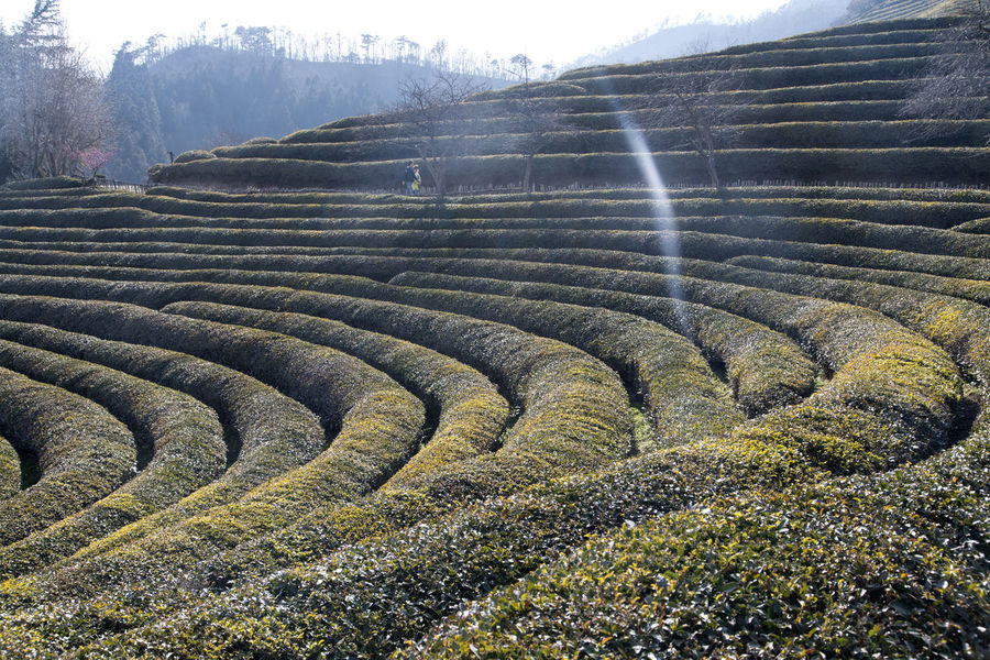 View of Boseong Green Tea Field, Jeonnam, South Korea Beauty In Nature Day Field Field Green Tea Green Tea Field Growth Landscape Mountain Nature No People Non-urban Scene Outdoors Scenics Sky Terraced Field Tranquil Scene Tranquility Tree