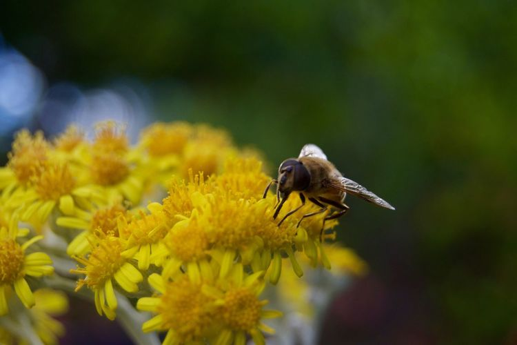 Animal Themes Animal Wildlife Animals In The Wild Beauty In Nature Bee Buzzing Close-up Day Flower Flower Head Focus On Foreground Fragility Freshness Growth Hovering Insect Insects  Nature No People One Animal Outdoors Petal Pollination Yellow