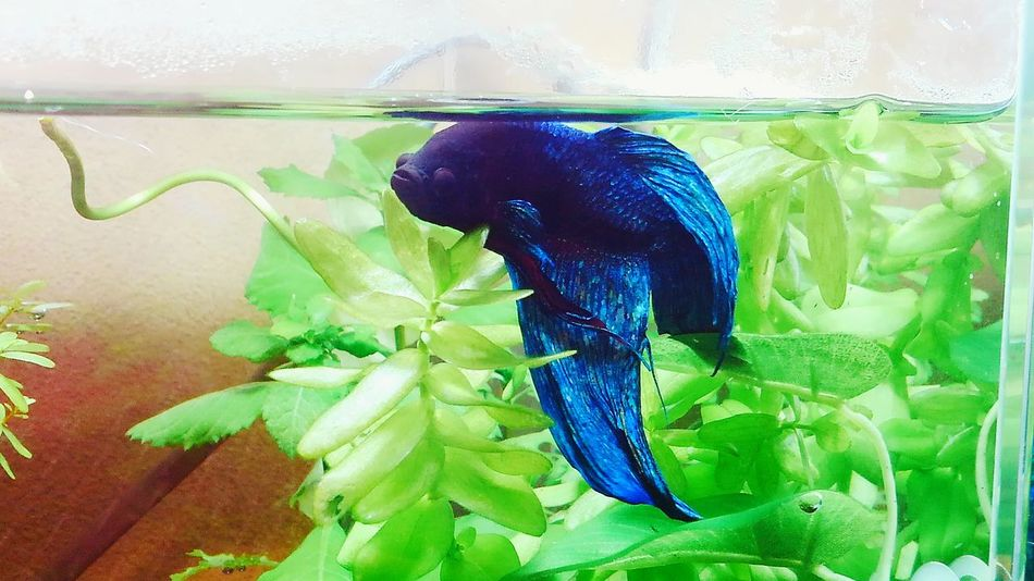 my lovely bettafish Betta Splendens Betta Fish Bettafishcommunity One Animal Animal Themes Insect Animals In The Wild Animal Wildlife Green Color Plant No People Nature Day