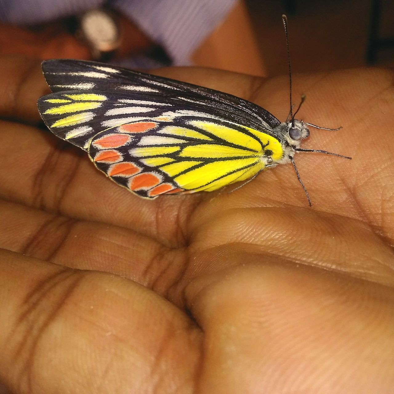 human body part, one animal, human hand, insect, human finger, animal themes, butterfly - insect, one person, animals in the wild, close-up, real people, holding, animal wildlife, outdoors, day, fingernail, nature, people, adult
