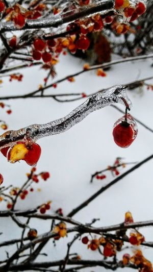 Bittersweet on ice ~ No People Close-up Branch Day Growth Nature Outdoors Beauty In Nature Snow Colors Of Life Ice Winter Naturelover Cold Temperature Happy Day My Point Of View Frozen Nature My Neighborhood Berries Red Loving The Landscape In Portland Maine USA