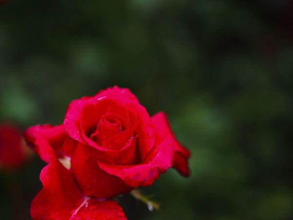 45mmF1.8。ちょっと使わないでいるとすぐに感覚失って、頭の中で絵がイメージできなくなるな。 Flower Rose - Flower Flower Head Petal Fragility Freshness Red Plant Close-up No People Olympus OM-D E-M5 Mk.II この調子で使わないとなるとマップカメラ行きだけど、超優秀撒き餌レンズだから相対的に買取価格も期待出来ない。