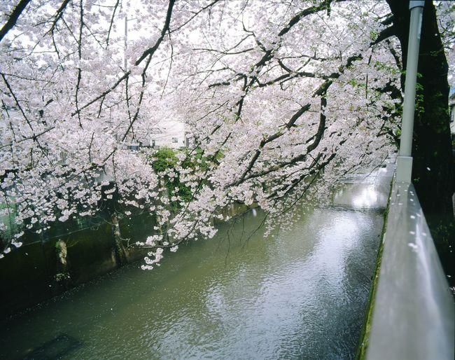 Sakura2016 Hello World PENTAX67 Color Reversal Film Japan