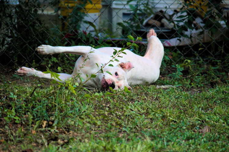 Pit bull terrier lying on field