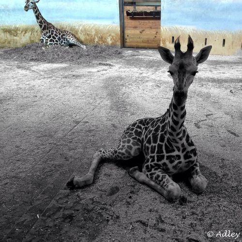 Giraffe ✨