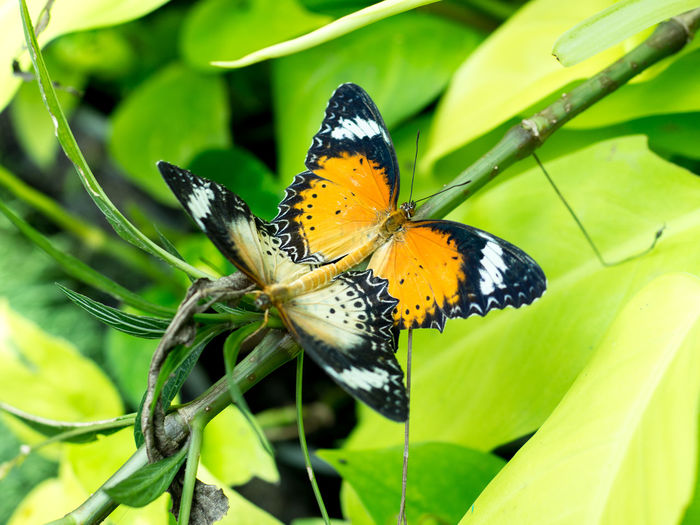 Butterflies mating with nature blurry background, selective focus. Beautiful Nature Butterfly ❤ Couple Green Life Mating Natural Nature Wing Butterfly Colorful Flower Garden Leaf Macro Meadow Monarch Pair Season  Sexygirl Spring Summer Two Wild Wildlife