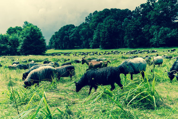 Flock of Sheep II - galery color edit / with my DSLR / (c) Nidal Sadeq Agriculture EyeEm Best Shots Agricultural Land Animal Themes Beauty In Nature Canon Day Domestic Animals Field Flock Of Sheep Grass Grazing Green Color Growth Herd Landscape Large Group Of Animals Mammal Nature No People Outdoors Scenics Sky Tree