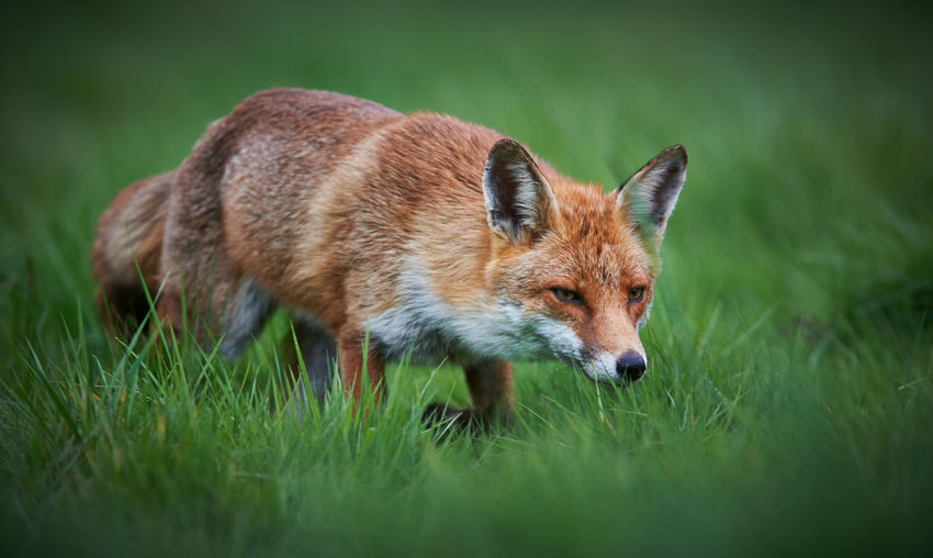 Fox Walking On Grassy Field