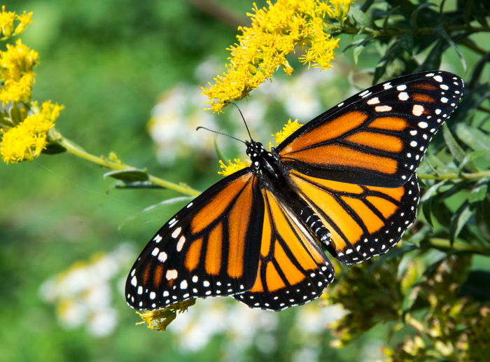 A beautiful Monarch butterfly stretching its wings. Flowering Plant Nature Plant Beauty In Nature Black Butterfly Closeup Colorful Insect Monarch Butterfly Orange Color Wings Yellow