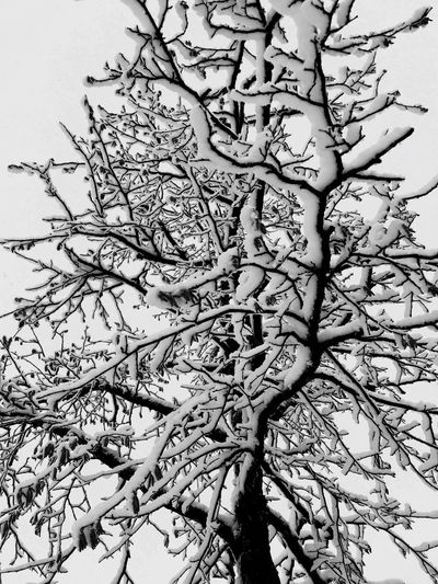 snow Nature Black & White blackandwhite photography EyeEm Nature Lover EyeEm Best Wintertime Winter Snow Nature Black & White Blackandwhite Photography EyeEm Nature Lover EyeEm Best Shots Blackandwhite Black And White Tree Branch Nature Growth Beauty In Nature Low Angle View No People EyeEm Ready   EyeEmNewHere Shades Of Winter
