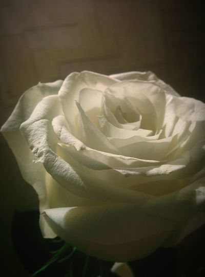 Rosé White Flower No People Flower Head белая роза