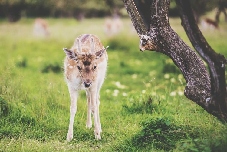 Animal Themes Mammal Day Grass No People Nature Animals In The Wild Outdoors Close-up Domestic Animals Young Animal Deer Daniel