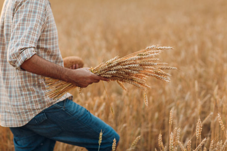 Midsection of man holding wheat growing on field