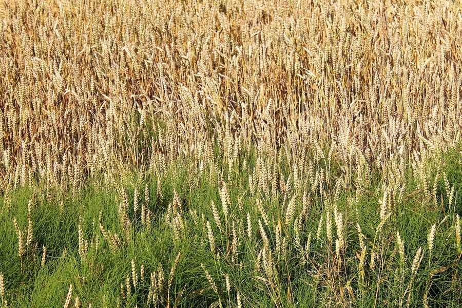 Nature On Your Doorstep Fields Of Gold In The Field Wheat Field Beautiful Nature Nature Photography Enjoying Nature Nature_collection Green And Gold Out For A Walk enjoying nature in hamburg