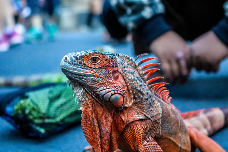 Iguana with a beautiful body color