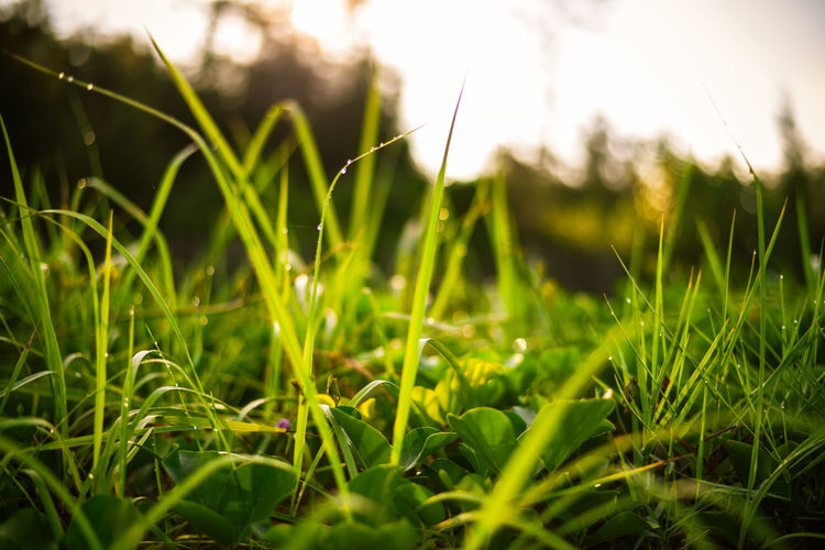 Morning Plant Growth Green Color Field Grass Land Nature Beauty In Nature Close-up Selective Focus Day Blade Of Grass Tranquility Freshness No People Outdoors Focus On Foreground Sunlight Plant Part Leaf Surface Level Dew Purity Morning Sun Sunset Sunrise Sunshine Dew Dewdrops Green Color Green Low Angle View Bug View Bugs Life Yellow