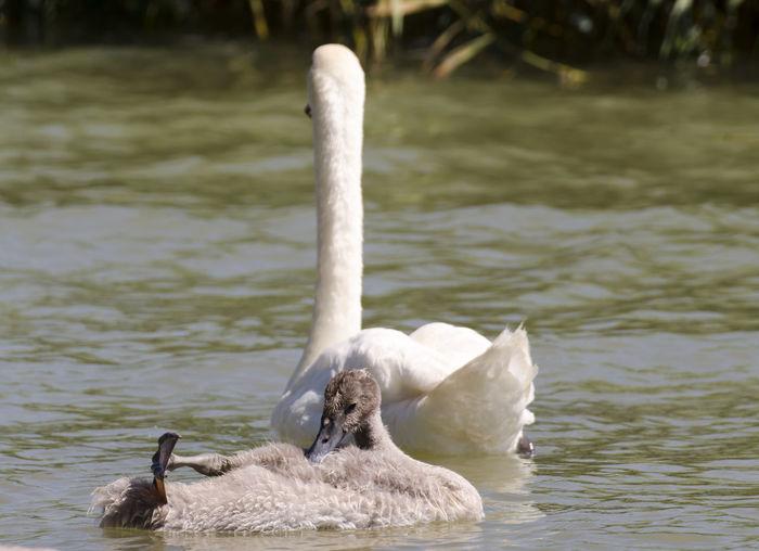 Nature Swan