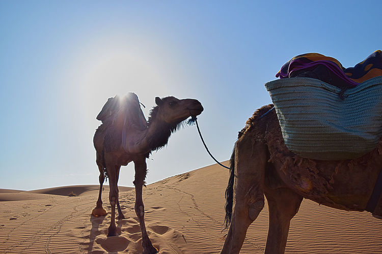 View Of Camel In Desert