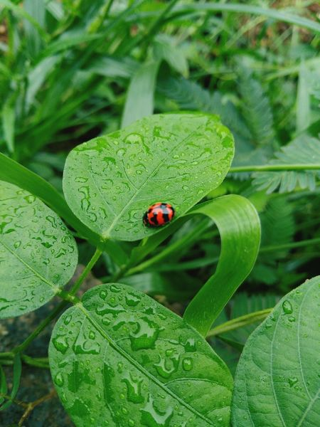 Insect Leaf Animals In The Wild Ladybug Red Beauty In Nature Nature Be. Ready. EyeEmNewHere