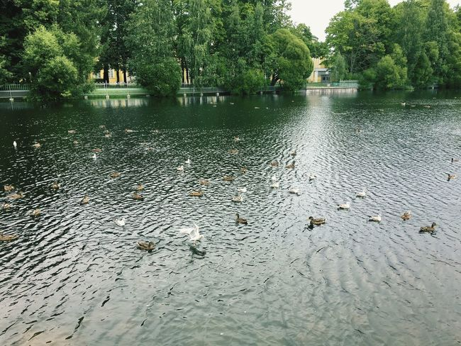 Water Animal Themes Animals In The Wild Tree Lake Large Group Of Animals Animal Wildlife Bird Waterfront Outdoors Swimming Nature Day Duck No People Water Bird Rippled Reptile Scenics Architecture Tavrichesky Garden Saint Petersburg Russia 🇷🇺