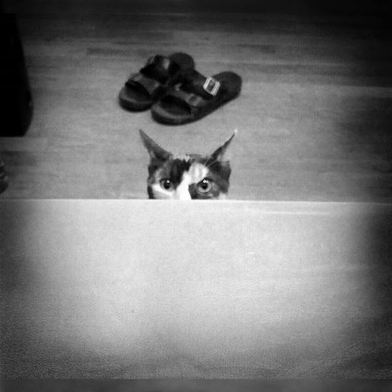Creepin.... Patchesthecat Patchy Cuteness Caturday catsofinstagram animallovers catlover gato madera 559 photogrid picoftheday photooftheday instalike instagrammer instagram instgramhub cat