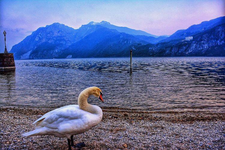 Swan at lakeshore