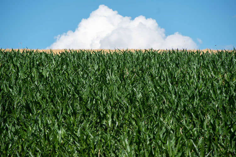 Corn field on a hillside topped with  yellow wheat and white cloud in natural light with copy space.