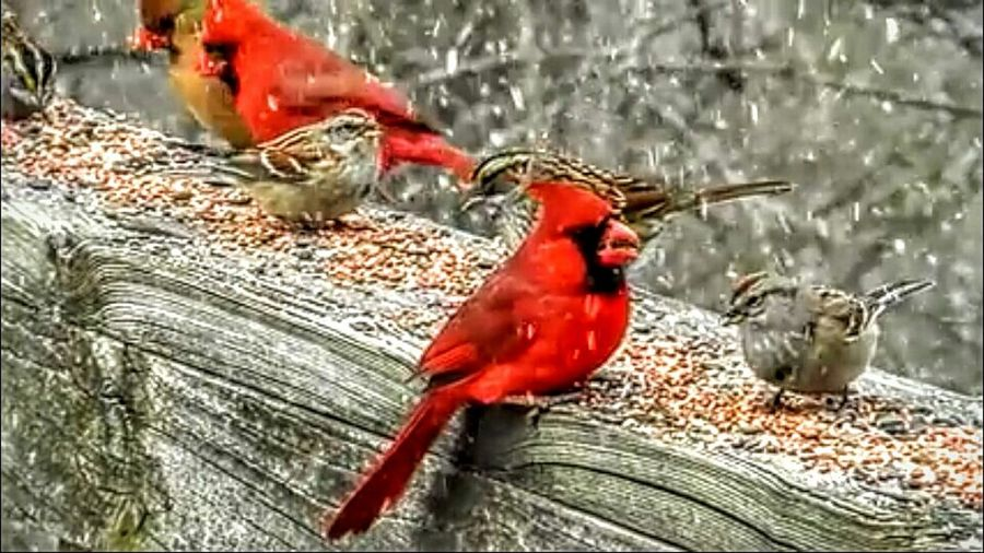 Birds Hanging Out Eating Cardinals Red Snow Flurries EyeEm Best Shots Colorful Finches Taking Photos Beautiful Nature Photos By Jeanette Enjoying Life Beautiful On The Deck Showcase: January Nature Enjoying The View Nature Lover
