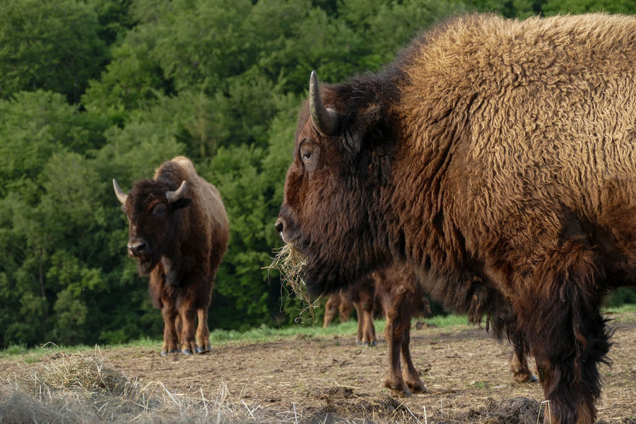 Gehege Hessen Germany American Bison Animal Themes Animal Wildlife Animals In The Wild Bison, Buffalo, Blackbirds, Wyoming, Wild, Animal, Horns, Fur, Raw, Day Domestic Animals Farming Livestock Mammal Nature No People Outdoors Standing Wisentgehege
