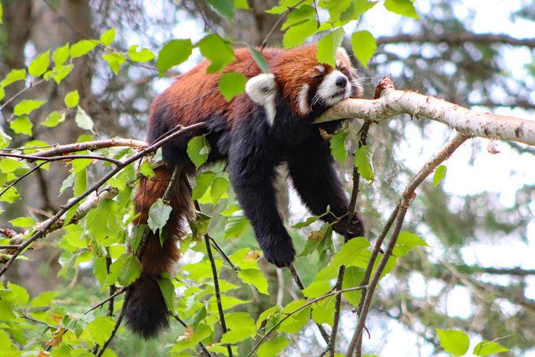 Red panda very