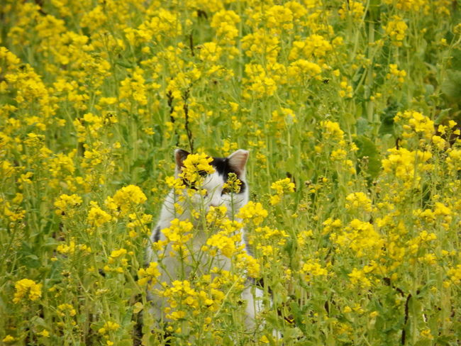 見っけ! I can see you...。(=^ェ^=)♪ | A stray cat at the park, partly hidden and being shy to come to us, took refuge in between the blooming rapeseed blossoms. | Cat♡ Cats Of EyeEm Stray Cat 野良猫 野良猫ウォッチング 菜の花 菜の花畑🌿 Rapeseed Blossom Field Mustard Animal Themes Domestic Animals Beauty In Nature Park In The City Stroll Through Nature Outdoors NoEditNoFilter Parks And Recreation Full Frame Flowers, Nature And Beauty EyeEm Gallery Flowers,Plants & Garden EyeEm Best Shots - Flowers Eyeem Best Shots - Animals
