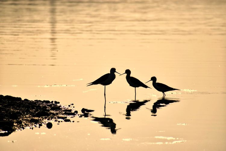 Black Winged Stilt Silhouette Blackwingedstint Birds Of EyeEm  Bird Photography Bird In Sillhouette Animal Photography Birds Of EyeEm  Birds Reflections In The Water Reflection Bird Animal Wildlife Animals In The Wild Water Nature Silhouette Lake No People Animal Themes Outdoors Colony Day Low Tide