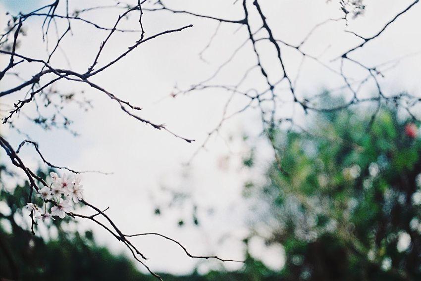 秋 桜 Cherry Blossoms Film Film Photography Konica Konicaiib EyeEm Flower EyeEm Nature Lover EyeEm Best Shots 桜