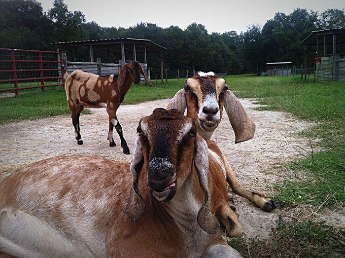 Farm Life Goats Serenitygoats Farm Serenitygoats Lazy Day Chilling