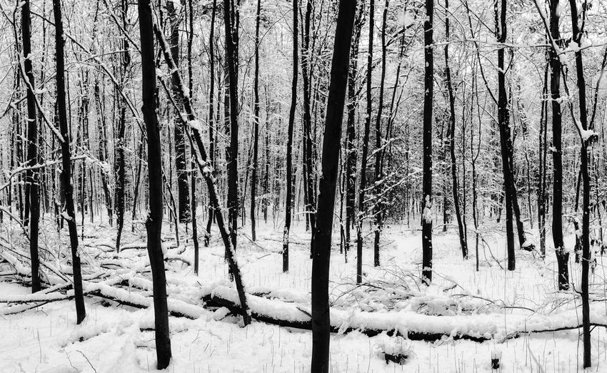 Tree Plant Land Cold Temperature Snow Winter Trunk Forest Tree Trunk Tranquility WoodLand No People Nature Tranquil Scene Beauty In Nature Day Landscape Non-urban Scene Scenics - Nature Outdoors