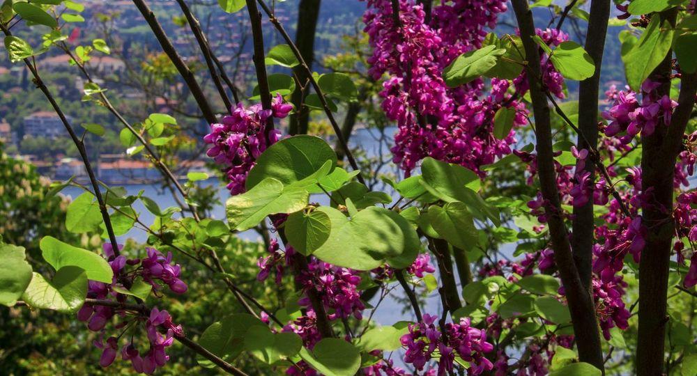 Flowers,Plants & Garden Erguvan / Judas Tree Plants EyeEm Nature Lover https://m.youtube.com/watch?=UnAhLwQQq_M