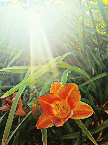 """I have no special talents. I am merely passionately curious. ~ Albert Einstein. ray of hope & light in an otherwise overly hectic day! Trying Something New Spring Flowers Flower Collection Flowers Lilys Orange Close Up HDR 9Check This Out A Ray Of Sunshine"