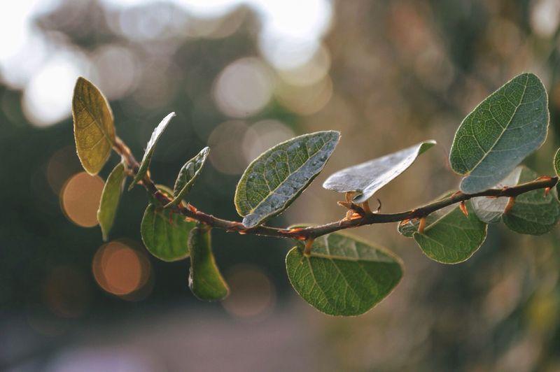 Ivy 🌿 Leaf
