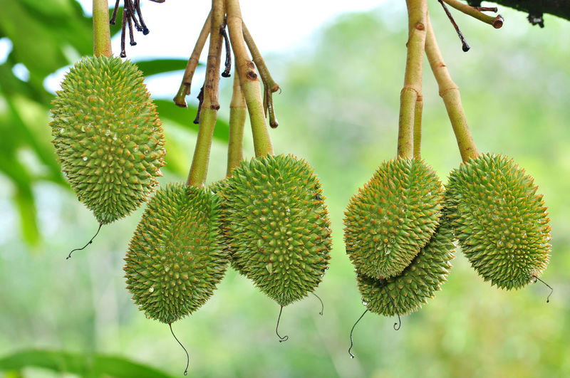 Young durian Thai Fruit Durian Tree Branch Fruit Hanging Plant Part Close-up Sky Plant Green Color