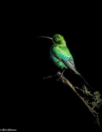 One Animal Animal Wildlife Bird Black Background Nature South Africa Is Amazing Travel Dark Animals In The Wild Outdoors No People
