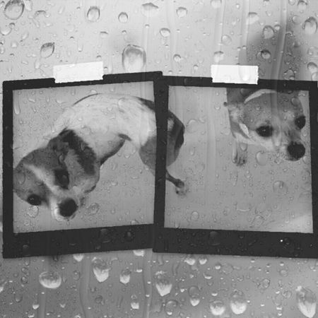 Soggy Series Soggy Dog Soggy Doggie Dog Bath Rub A Dub Dub 2 Little Doggies In The Tub Doggy Love Cute Doggy Bath Time! Chihuahualovers Chihuahuaoftheday Pets Corner Black And White Photography Black&white Monochrome Pets Of Eyeem Pets Daily Wet Wet Wet