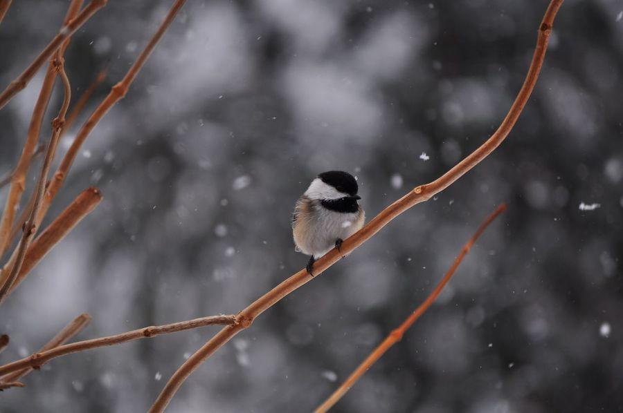 Chickadee Chickadees Birds Bird Photography Snow Nature Backyard Backyardphotography Backyard Birder No People Winter Ohio, USA
