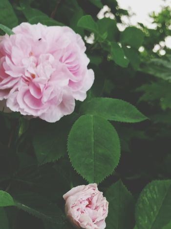 Rose - Flower Flowers The Essence Of Summer The Beuty Of The Nature The Rose