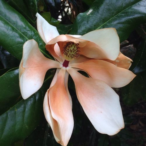 Magnolia, in my yard.