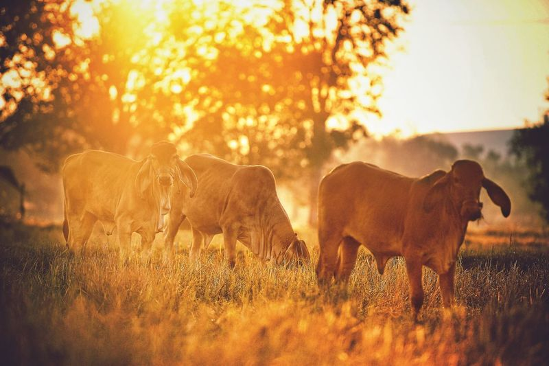 Cows on grassy field during sunrise