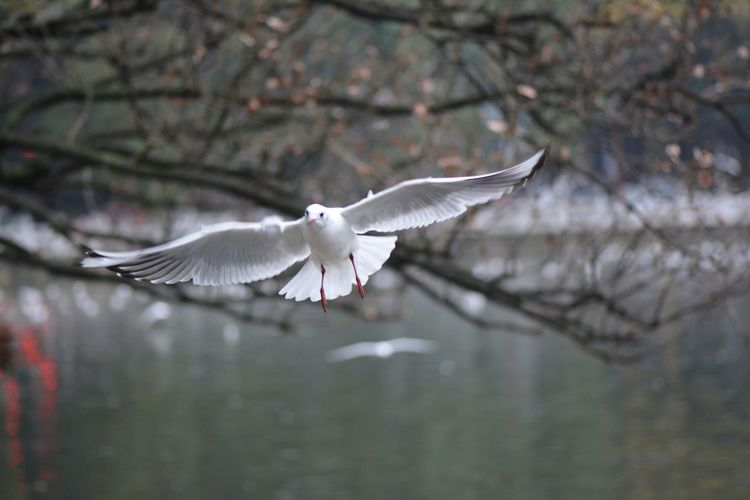 飞 Black-headed Gull Bird Flying Spread Wings Animal Wing Animal Wildlife Winter Animals In The Wild