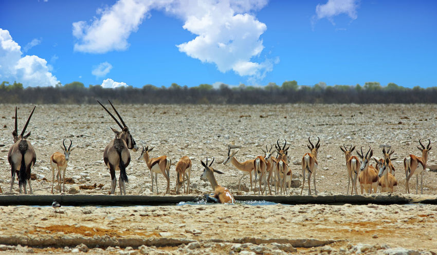 Lots of animals around a waterhole in Etosha National Park Namibia Namibia Africa Animal Themes Animal Wildlife Animals In The Wild Beauty In Nature Cloud - Sky Day Etosha National Park Large Group Of Animals Mammal Nature No People Outdoors Pamoramic Safari Safari Animals Sky Sunlight Waterhole